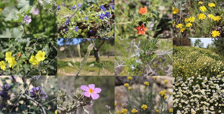 Blütentraum auf Sa Talaia