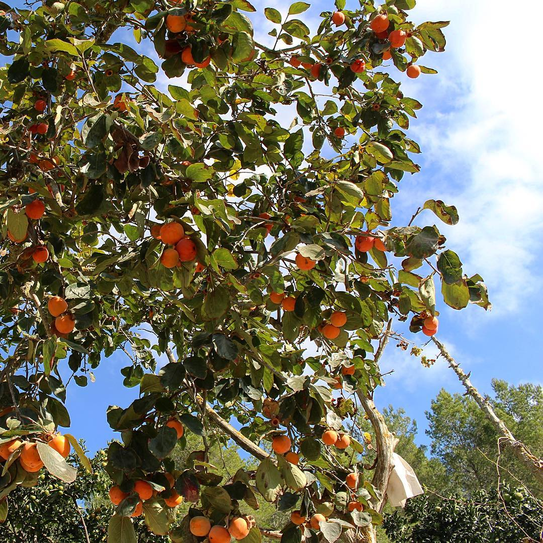 Wintertime and the oranges present theirselves in full glory 🍊🌞 #winter #ibizawinter #oranges #fruits #backcountry #ibiza #farming #sky #tree #blue #delicious #instafruit #farmlife #nature #spain #natural #baleares #loveibiza #ibizafood #instaspain #traveleurope #ibizadiary, Santa Gertrudis, Islas Baleares, Spain