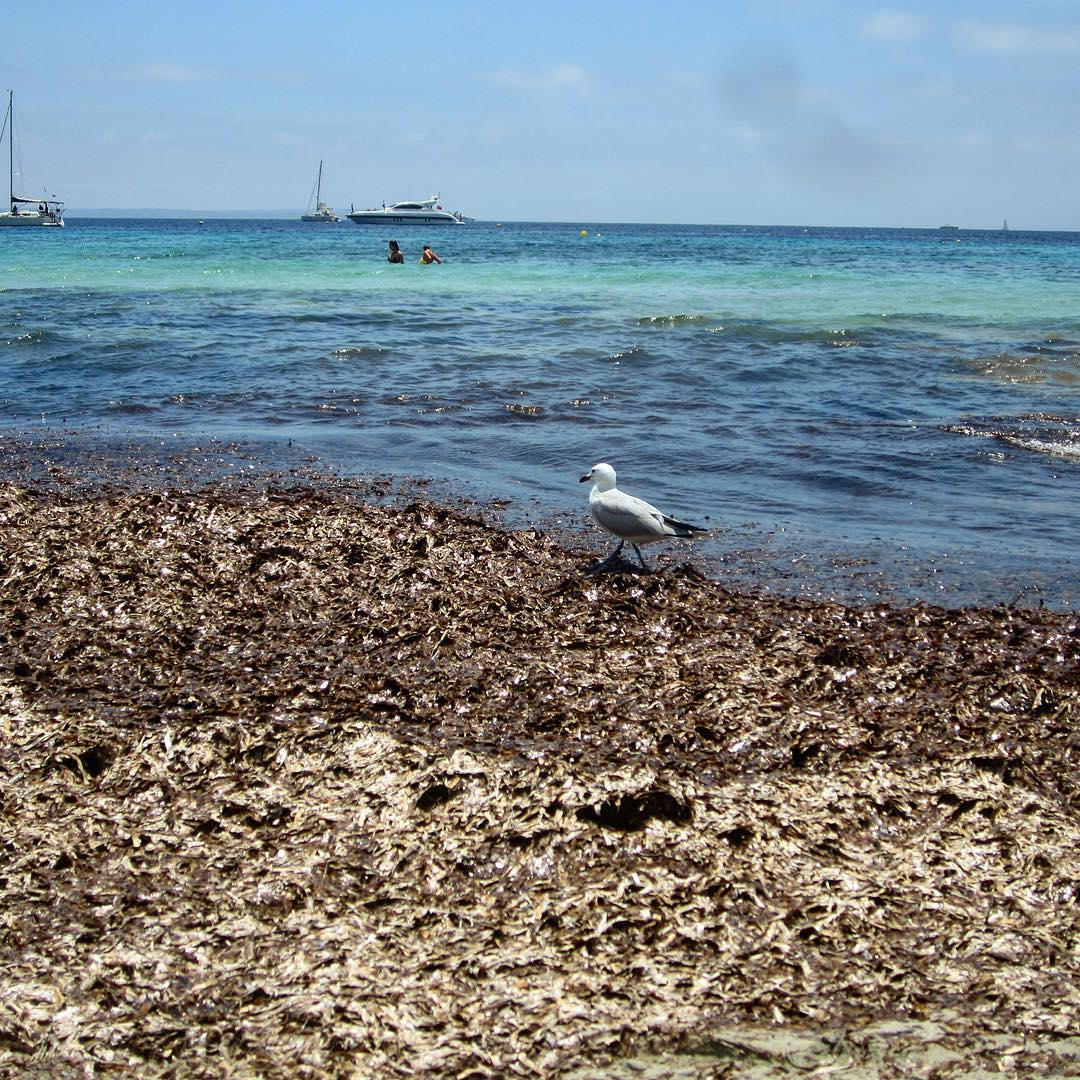 The seagull enjoys the lazy afternoon on Salinas Beach 🏖⛵️ #seagull #salinasbeach #ibiza2017 #seaview #baleares #chillout #animals #birds #salinas #ibz #picoftheday #instaspain #igersibiza #ibizadiary, Ses Salinas-Ibiza
