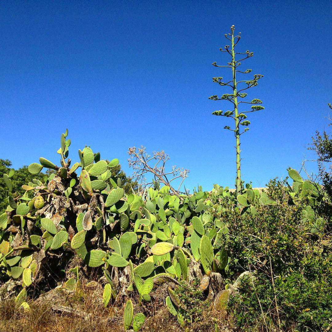 Beautiful agave in full bloom 🌿 #nature #agave #blooming #ibizanature #centuryplant #green #blue #sky #ibzconnect #igersibiza #ibzadiary #plants #pita #ibizalove #ibz #baleares, Santa Gertrudis, Islas Baleares, Spain