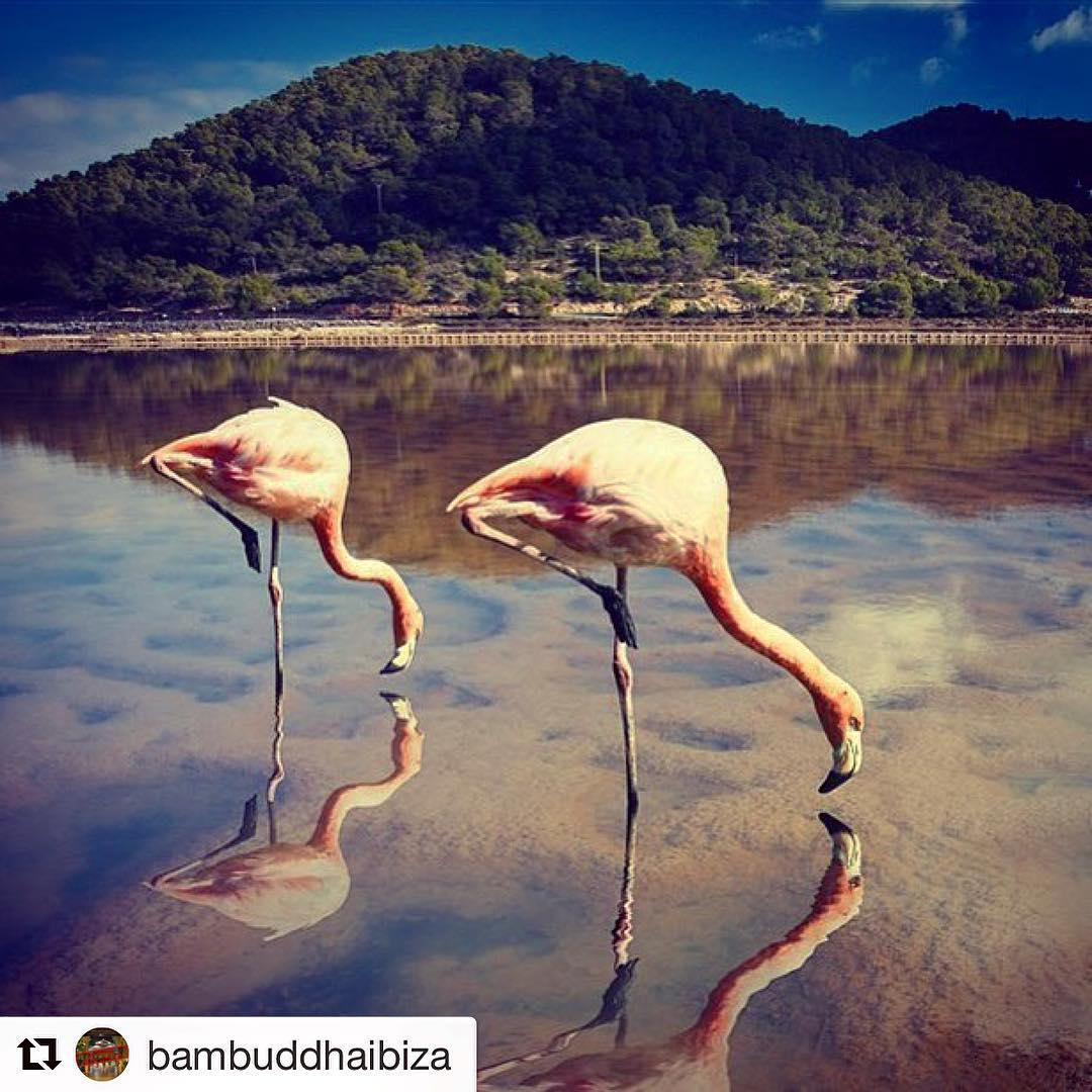 It's this time of the year, when the Flamingos have their stopover on Ibiza on their way to Africa 🌸 Thanks to @bambuddhaibiza for this super shot! #ibizanature #flamingo #animals #nature #beautiful #pink #picoftheday #loveibiza #instaflamingo #ibiza2017 #migratorybirds #phantastic #winter #igersibiza #birds #ibizadiary #salinas #salinasibiza, Ses Salines, Islas Baleares, Spain
