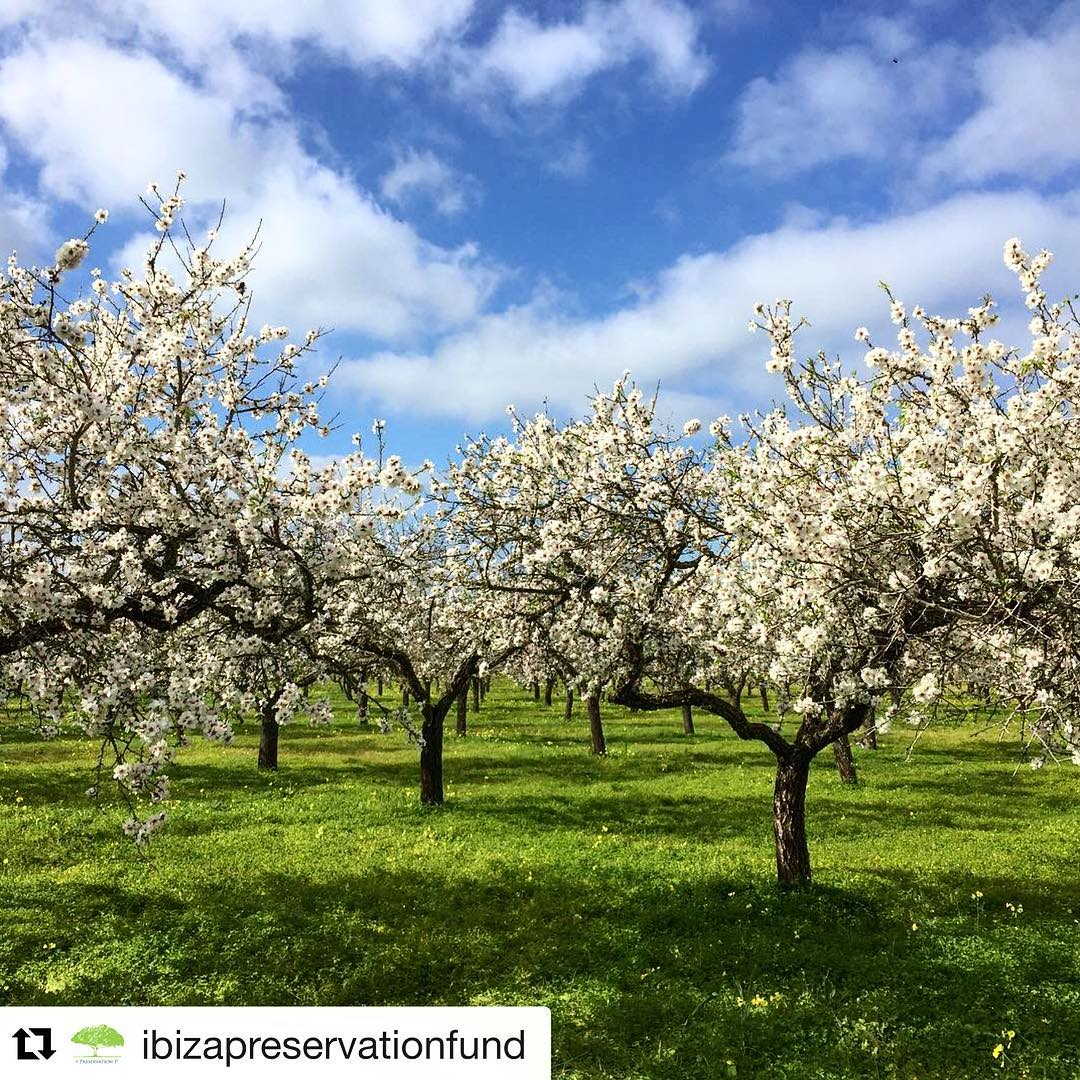 This is the weeks of the year, when nature shows it's beauty the most! Thanks to @ibizapreservationfund for this picture of Ibizas almond blossom season 🌳🌞 #nature #ibiza #ibizawinter #blooming #almondblossom #ibiza2018 #stunning #naturelovers #trees #february #outdoor #farmlife #sky #clouds #like #baleares #ibizadiary, Santa Agnès de Corona