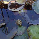 Kleiner Frosch im Atzaró