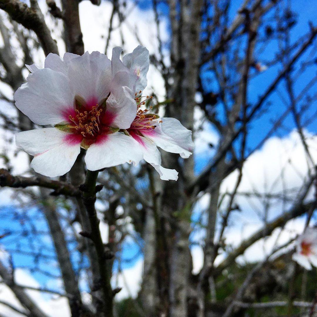 Today we saw the first blooming almond trees on a beautiful sunny hike around Sant Llorenç 🌸🌳🌱 . . . #ibiza #ibz #ibizawinter #winteribiza #beautifulibiza #inizaflowers #flowerpoweribiza #flowerpower #almond #almondflower #floweringalmond #bluesky #spring #springfeeling #santllorenç #ibizacampo, SANT LLORENÇ DE BALAFIA